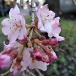 桜の開花が始まりました!